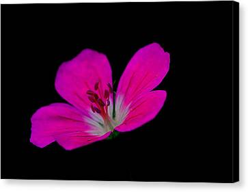 Pink Stamen Canvas Print by Richard Patmore