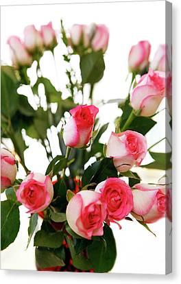 Pink Trimmed Roses Canvas Print by Marilyn Hunt