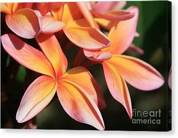 Pink Tropical Plumeria Makawao Maui Hawaii Canvas Print by Sharon Mau