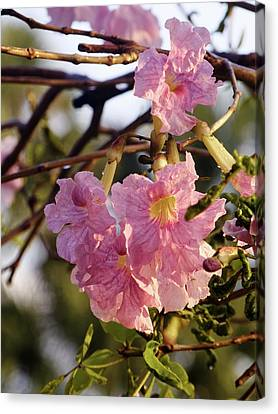 Pink Trumpet Blooms On Tree Canvas Print by Jill Nightingale
