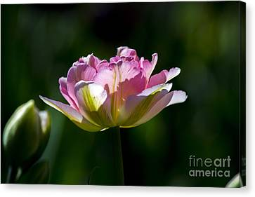 Canvas Print featuring the photograph Pink Tulip by Angela DeFrias