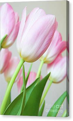 Canvas Print - Pink Tulip Flowers by Julia Hiebaum