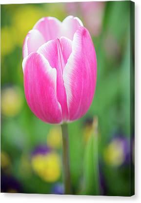 Pink Tulip I Canvas Print
