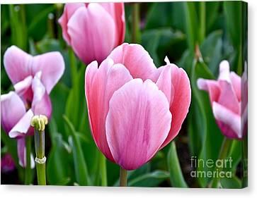 Pink Tulip Canvas Print by Jeramey Lende