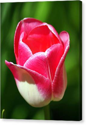 Pink Tulip Canvas Print by Marty Koch