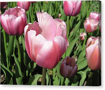 Pink Tulip Canvas Print by Richard Mitchell
