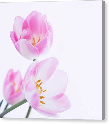 Pink Tulips Canvas Print by Hideaki Sakurai