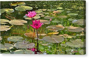 Pink Water Lilies Canvas Print