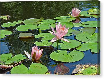 Pink Water Lilies Canvas Print by Suzanne Gaff