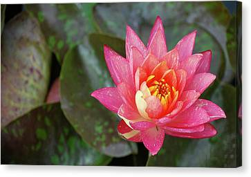 Canvas Print featuring the photograph Pink Water Lily Beauty by Amee Cave