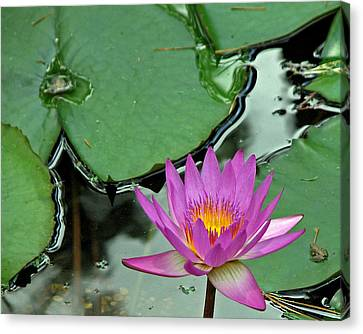 Canvas Print featuring the photograph Pink Water Lily by Judy Vincent