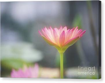 Pink Water Lily Canvas Print
