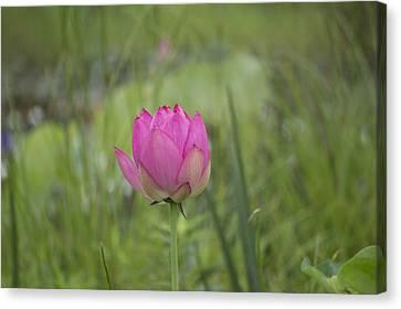Pink Waterlily Bud Canvas Print by Linda Geiger