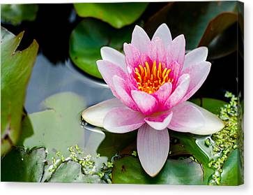 Pink Waterlily Canvas Print by Daniel Precht