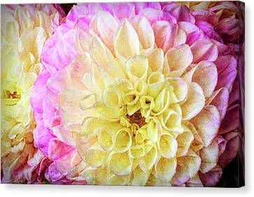 Pink White Dahlias Canvas Print by Garry Gay