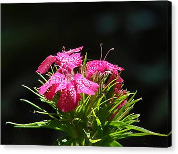 Pink William Canvas Print