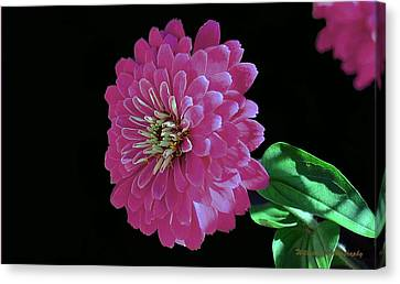 Pink Zinnia Canvas Print by William Lallemand