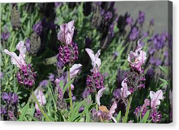 Pinkish Purple Spanish Lavender Canvas Print by Carla Parris