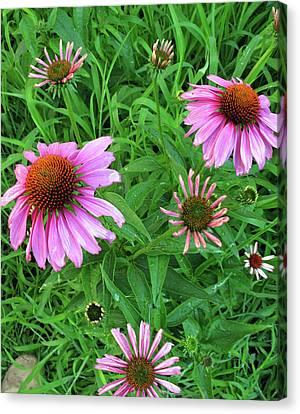 Pinks In Bloom Canvas Print by Barbara McDevitt