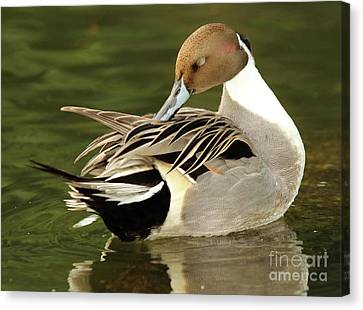 Pintail Drake Grooming Canvas Print by Max Allen