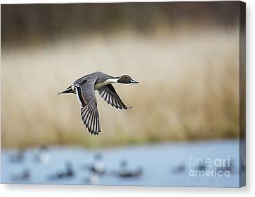 Pintail Duck Canvas Print