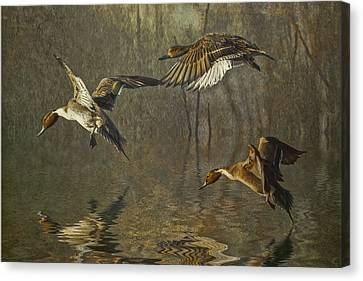 Pintail Ducks Canvas Print by Brian Tarr