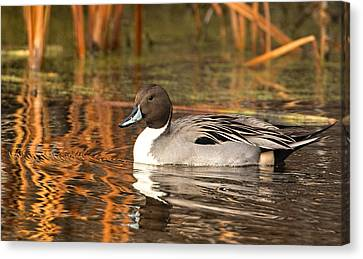 Canvas Print featuring the photograph Pintail by Kelly Marquardt