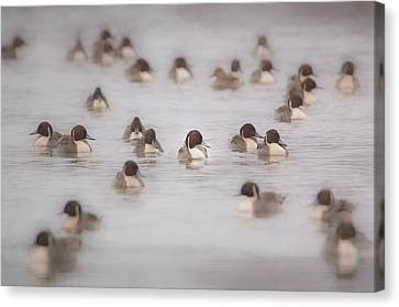 Pintail Repeat  Canvas Print