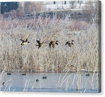 Pintails Along The Provo River Canvas Print