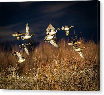 Pintails And Wigeons Canvas Print