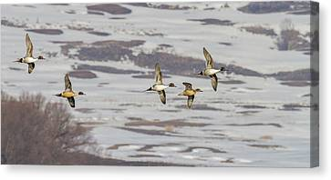 Pintails - Courtship Flight Canvas Print by TL Mair