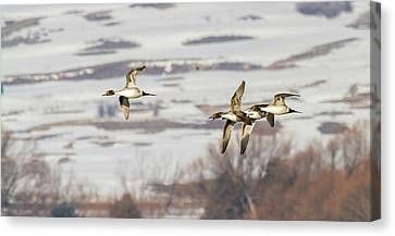 Pintails In Flight Canvas Print by TL Mair