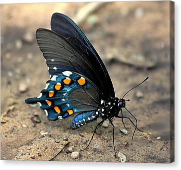 Canvas Print featuring the photograph Pipevine Swallowtail Close-up by Sheila Brown