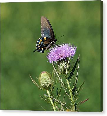 Canvas Print featuring the photograph Pipevine Swallowtail by Sandy Keeton