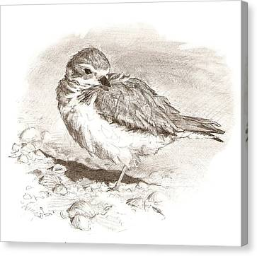 Piping Plover Canvas Print