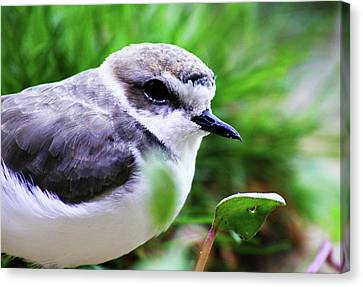 Canvas Print featuring the photograph Piping Plover by Anthony Jones