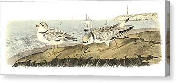 Sea Birds Canvas Print - Piping Plover by John James Audubon