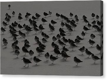 Piping Plovers Congregation Canvas Print by Christopher Kirby