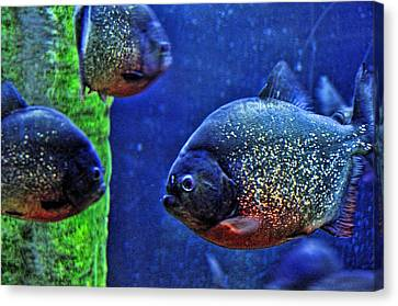 Canvas Print featuring the photograph Piranha Blue by Jan Amiss Photography