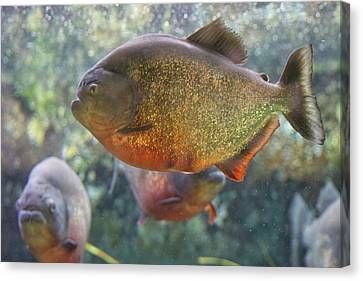 Piranha Canvas Print