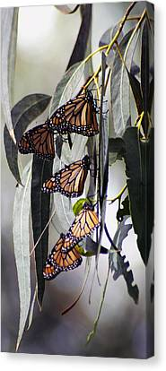 Canvas Print featuring the photograph Pismo Butterflies by Gary Brandes
