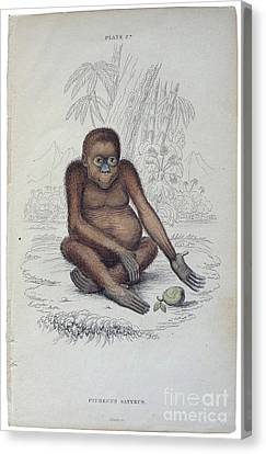 Pithecus Satyrus Canvas Print by MotionAge Designs