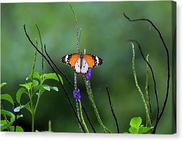 Plain Tiger Butterfly Canvas Print by David Gn