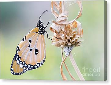 Plain Tiger Butterfly Resting Canvas Print by Tim Gainey