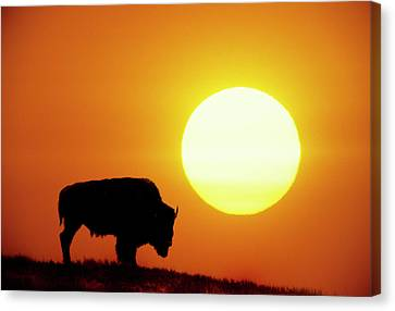 Plains Bison (bison Bison), Digital Composite Canvas Print by Altrendo Nature
