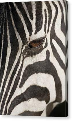 Plains Zebra (equus Burchelli), Close-up Of Eye Canvas Print by Paul Souders
