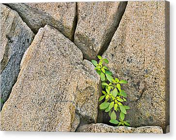 Plant In Granite Crevice Abstract Canvas Print