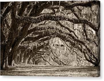 Plantation Drive Live Oaks Canvas Print by Dustin K Ryan