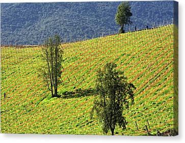 Planting A Vineyard Canvas Print by Fernando Lopez Lago
