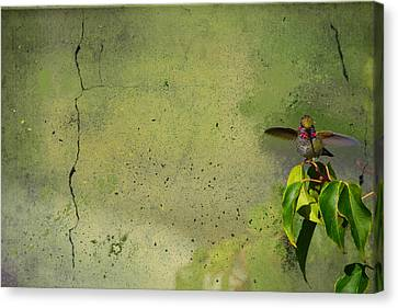 Plate 087 - Hummingbird Grunge Series Canvas Print